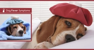 dog fever symptoms