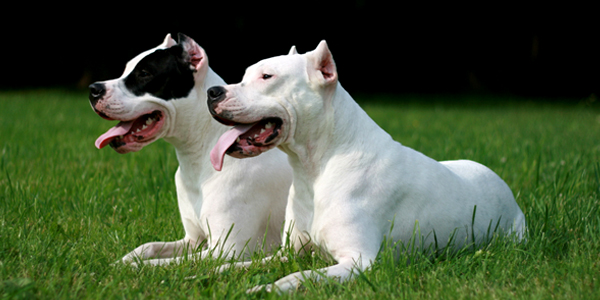 Dogo Argentino Dog Information Photos Dogexpress