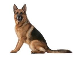 German_Shepherd_Dog_Alsatian