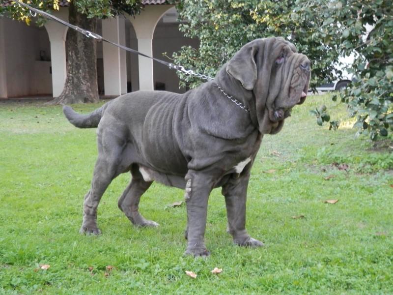 Neapolitan Mastiff Dog Information Pictures Dogexpress