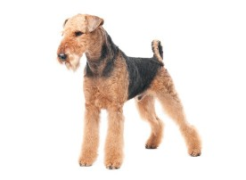 Airedale-Terrier dog breed