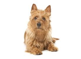 Australian_Terrier dog breed