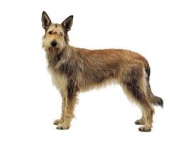 berger-picard dog