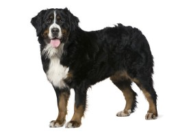 bernese-mountain dog breed