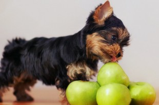 apple for dog