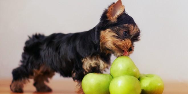 apple for dog