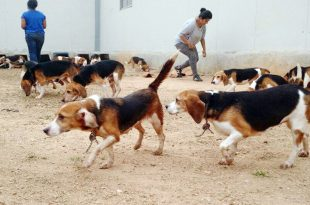 beagle adoption bangalore