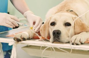 Kidney failure in pet dogs