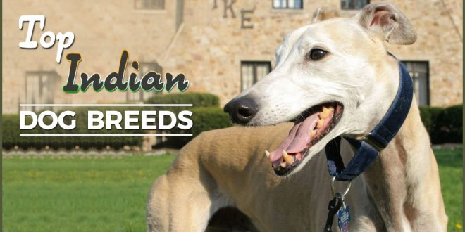 List of Indian Dog Breeds with Pictures