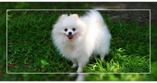 Health Problems In Pomeranians