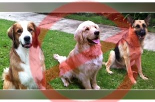 large-Sized Dogs In Bengaluru