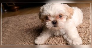 Dog Breeds For Apartment