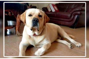 Brave Labrador Saved His Owner