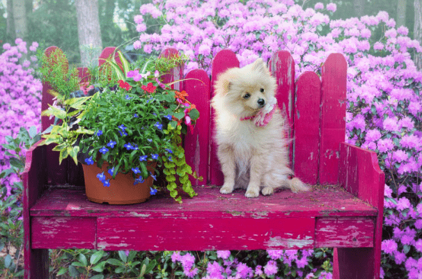 How Much A Pomeranian Puppy Costs In India?