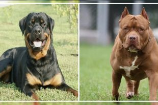 Pit Bull and Rottweiler
