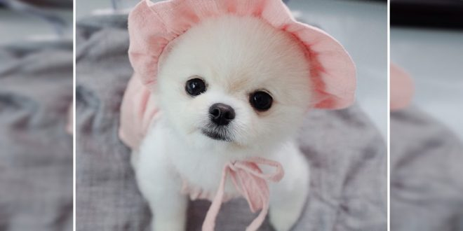 How Much A Pomeranian Puppy Costs In India Dogexpress