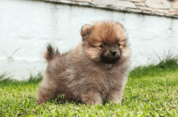 Registered puppy