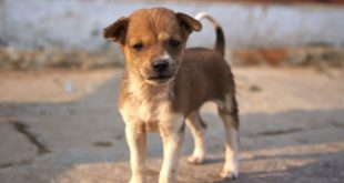Stray Dog Population In India