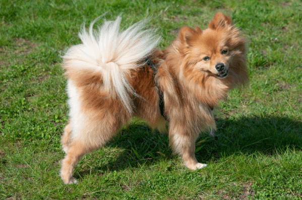 cost of a Pomeranian puppy