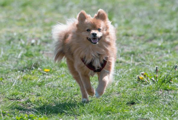 price of a pomeranian dog