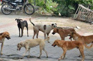 stray dogs in Chandigarh jpg
