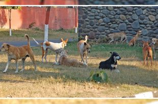 Stray Dogs Increase In Chandigarh
