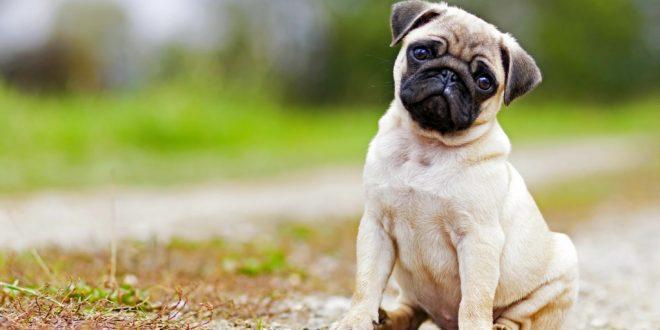 Pet Dog Registration Panchkula