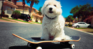 How To Teach Skateboard To Your Dog