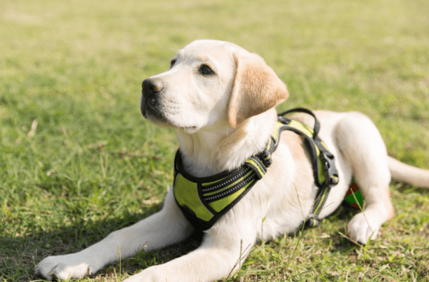 Labrador Dog Puppy Cost in India