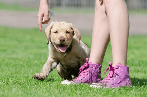 Labrador dog puppy price in India