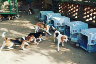 beagle are up for adoption