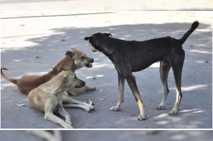 Stray dog menace in Chandigarh