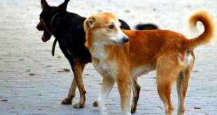 Stray dogs in Panchkula