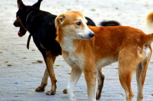 Stray dog population increase