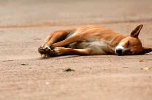 stray dogs dying on roads