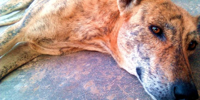 Stray dog shot dead in Ludhuana by an ex-serviceman