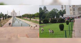 Stray dogs in Taj Mahal