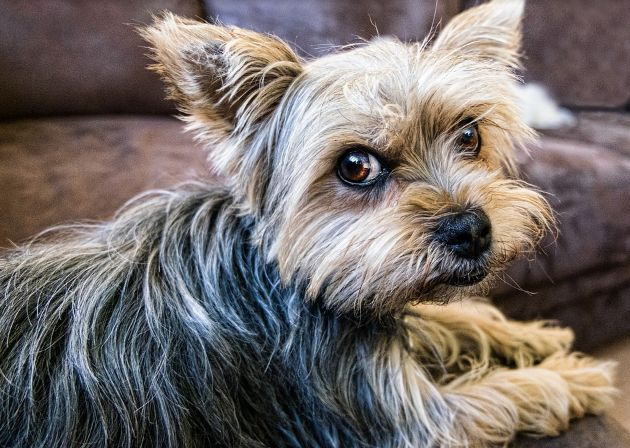 How is the Yorkie as a companionship dog