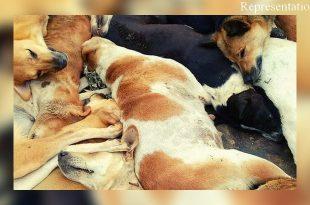 Stray dogs tied and killed in Maharashtra