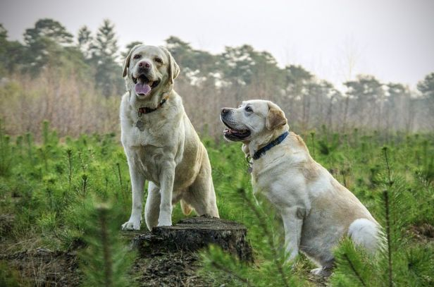 Labrador 3