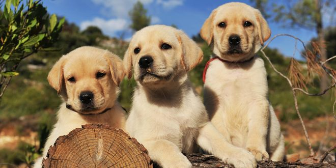 What You Need To Know Before Adopting A Labrador