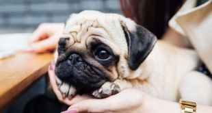 What are the Pros and Cons of Owning a Pug-Dog?