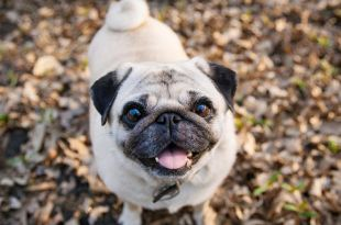 5 Things You Should Know About Getting a Pug Dog8