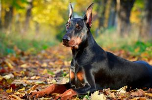 5 facts you should know about Doberman