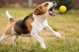How to Teach your Dog to Fetch Perfectly?
