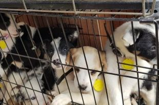 Over 200 Dogs Saved from Dog Meat Trade and Abuse Set to Fly to New Homes in the U.S.