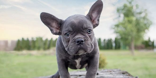 How Much Does A French Bulldog Weight Dogexpress