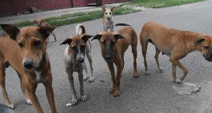 Animal activists accuse Chandigarh MC of botching up Dog Sterilisations