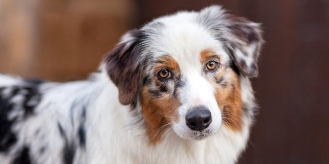 Facts You Need to Know Before Choosing an Australian Shepherd