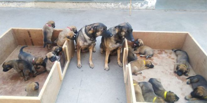 ITBP gets 17 New Warriors for its K9 Squad as Two Dog Moms give Birth in Panchkula